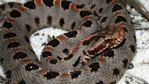 Pygmy rattlesnakes are a threatened species in Tennessee.