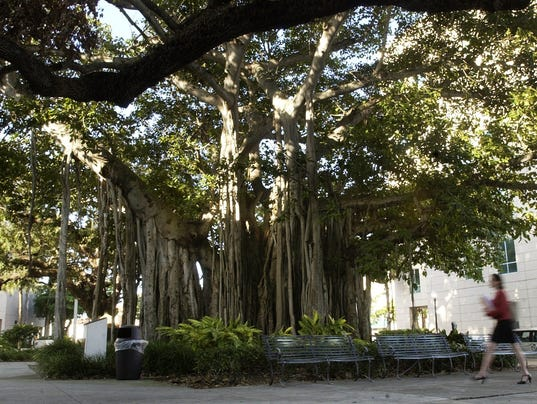 Courthouse banyan