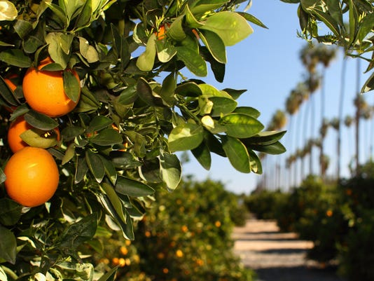 Citrus groves with palms, credit Steve Jacobs, City of Riverside