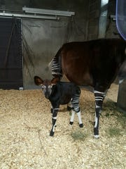 Eight-year-old okapi Kuvua gave birth to a 60-pound male calf, which zoo staff have named Moyo, last week.