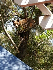 A bear is seen in a tree in the back yard of a residence