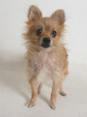 """Aster is a 7-year old red female Chihuahua and Pomeranian mix. She does well with children and other dogs, knows """"sit"""", and is rated for a family with children 8 and older. Aster is available for adoption at Haven Humane Society. A proper introduction with any other dogs in the household is required. All feline and canine adoptions at the shelter include spaying or neutering, vaccinations and a microchip. To see Aster or any of our other companion animals available for adoption at the shelter, please visit us at 7449 Eastside Road, Anderson, or call 241-1653, or go to www.havenhumane.org."""