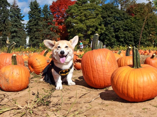 Marc Dalangin's Welsh corgi, Wally, is dressed in a Batman costume at Conklin Farms in Montville, N.J. Wally has dressed as a banana, a dinosaur, Michael Jackson and Elvis. But he doesn't go out anymore. People come to see him instead, or visit him on Instagram, with 63,000 followers, and Facebook, with 12,000 followers.