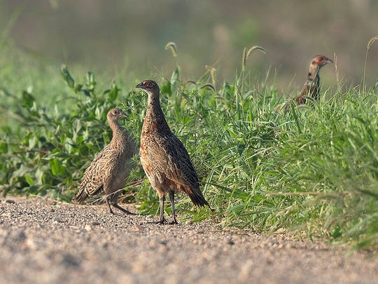 A hen and her brood come out of the dew-soaked grass on a country road during a pheasant count with Todd Bogenschutz, upland wildlife research biologist with the Iowa Department of Natural Resources, south of Ogden, Iowa, Thursday, Aug. 18, 2016.