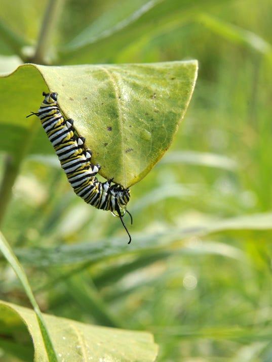 STC 0906 WW monarch1