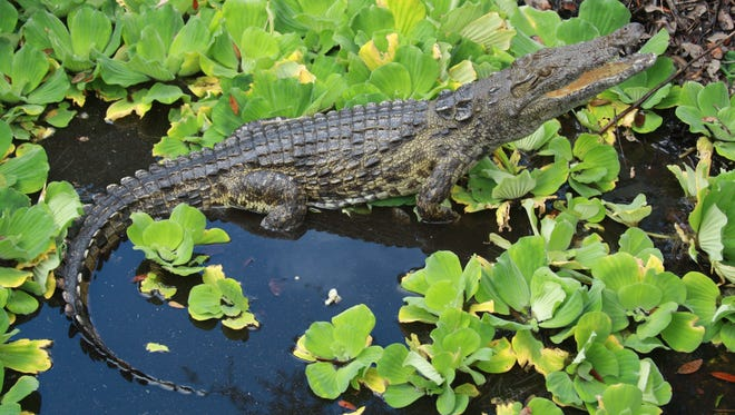This 2012 photo provided by Joe Wasilewski shows a Nile crocodile that he found in Homestead, Florida.