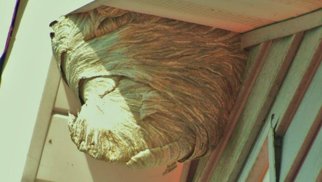 Alice Engel took this photo in the summer of 2011, of a nest at the top of her two-story house in Stockport. Notice the curved ventral extension facing up. She said the hornets entered and left the nest from top of the curved ventral extension.