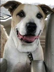 Mongo is an adult, neutered, male pit bull terrier