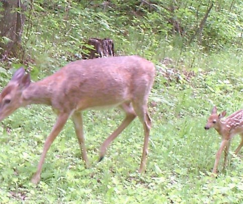 Young deer in Wisconsin