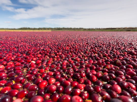 Wisconsin cranberry fields are flooded for the harvest.