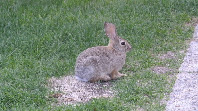 Cottontail rabbits are pesky to gardeners and homeowners.