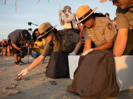 Donna Shaver, chief of the Division of Sea Turtle Science and Recovery at Padre Island National Seashore, places on the sand Kemp's ridley sea turtle hatchlings during the park's first public release of 2017 on Wednesday, June 7, 2017, at the seashore.