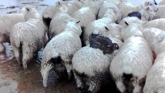Three rabbits sit on the back of sheep as they avoid rising flood waters on a farm near Dunedin, New Zealand.