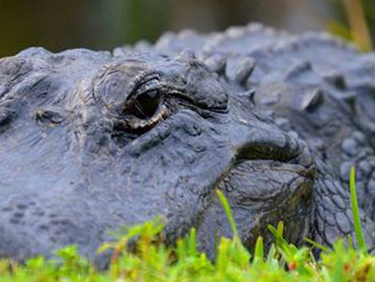 A lazy alligator suns himself along the walkway at
