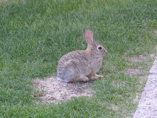 636077312230520163-rabbit-eating-lawn.JPG