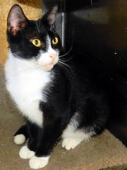 Archie is a 2-year-old, neutered, male tuxedo with