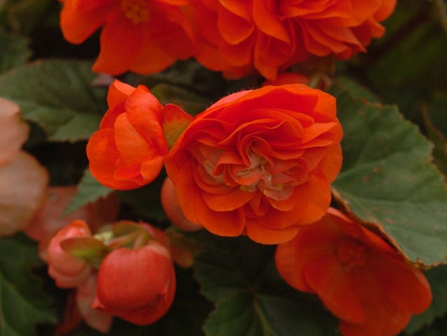 With A Bit Of Love Begonias Will Last Through Winter