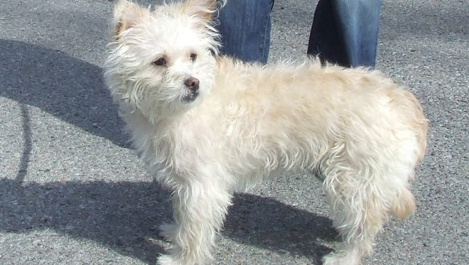 "This Westie-mix, named ""Lambchop,"" was found abandoned in Bronxville."