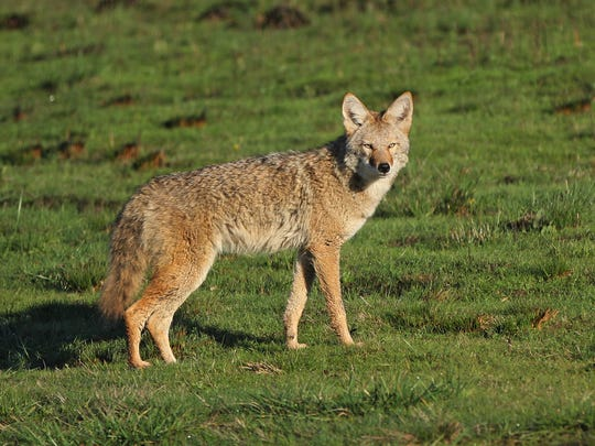 A coyote is spotted at Baskett Slough National Wildlife