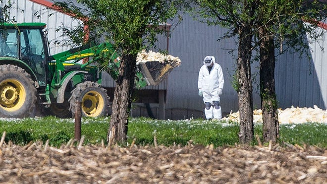 """Two Iowa landfills will begin accepting some of the 27 millions of birds killed in the avian influenza outbreak. """"We can't stick our heads in the sand and hope it goes away,"""" said the director of operations at one landfill."""