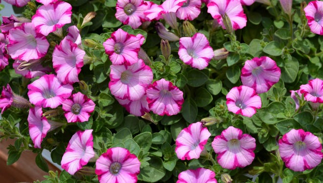 A hybrid petunia with small bicolor flowers, Supertunia Rose Blast Charm, is heat and drought tolerant.