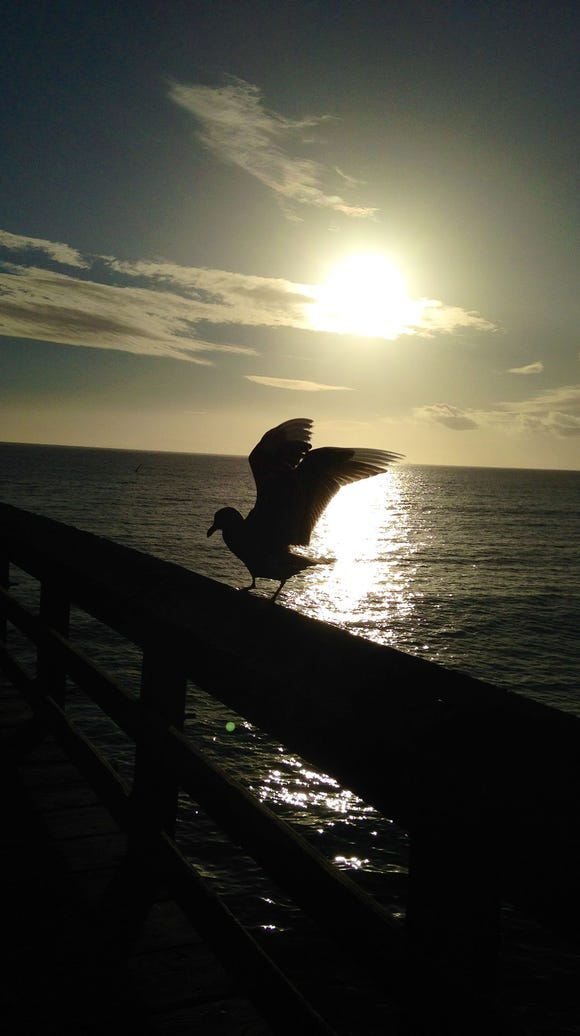 A seagull gets ready to take off from Ventura Pier.