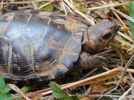 Mountain Bogs NWR Bog turtle Credit Gary Peeples.JPG
