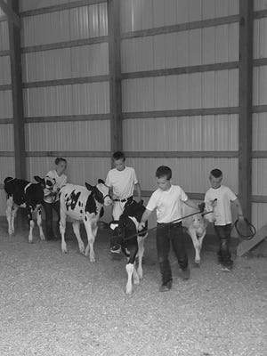 The Tilderquist children, Maggie, Max, Hank and Jack practice leading their fair calves.