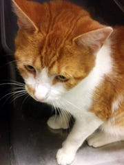 Agosto is a handsome 1.5-year-old, neutered male cat
