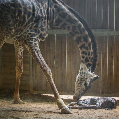 This giraffe was born on St. Patrick's Day at the Brevard
