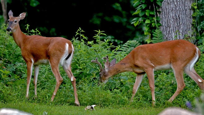 Two young deer feed on the brush near the main entrance of Glendale Cemetery after stopping traffic crossing University Avenue from Waveland Golf Course in Des Moines last summer.