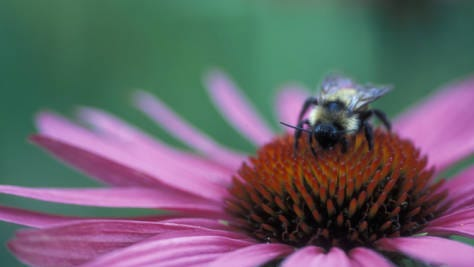 A bee on an echinacea flower.