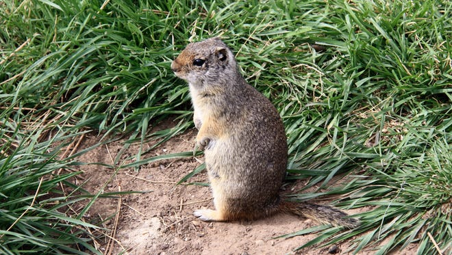 The Uinta ground squirrel, commonly known as potguts, are cute but naughty critters found in northern Utah.