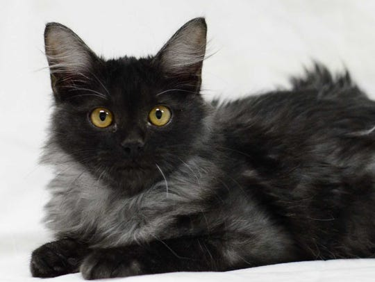 Bam Bam - Male domestic medium hair, adult. Intake
