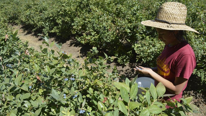 Adela Romero, 17, picks blueberries at a Harvesting Hope event at a farm east of Visalia on Saturday.