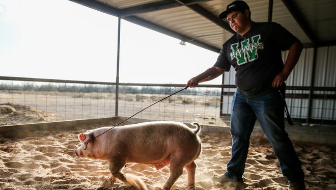 Coltyn Friend walks one of his hogs during training for stock shows Jan. 5, 2017, at his home in Wall.