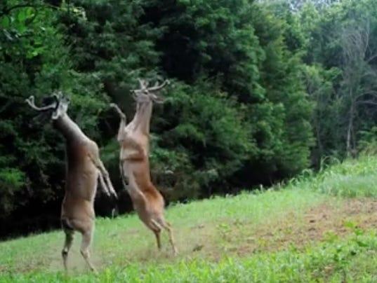 636337313249915645-deers.jpg
