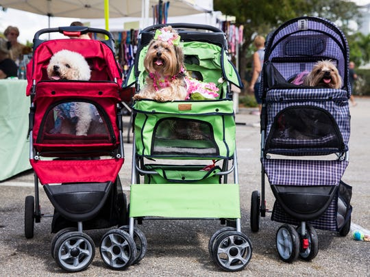 From right: Lola, a 7-year-old Yorkie, Abby, a 10-year-old Yorkie, and Yuki, a 12-year-old Bichon, ride around together in their strollers during the sixth annual Woofstock at Mercato in North Naples on Sunday, Feb. 25, 2018.