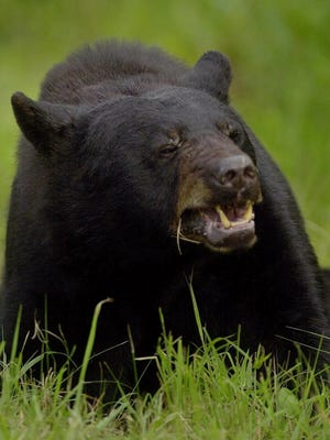 An adult black bear.