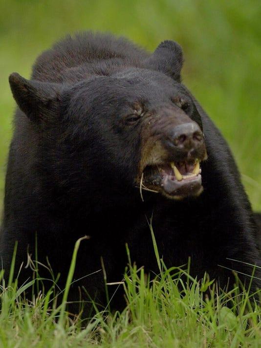 635987393032825105-bear-1015-locgrey-10-15-2010-0811.jpg