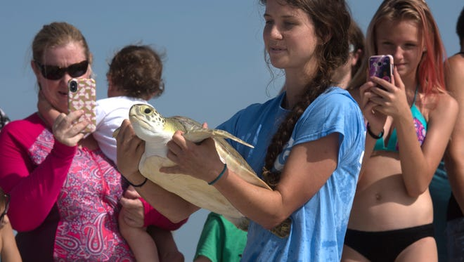 Spectators look on as Gulfairum employee, Ellyn Wylles, carries a Green sea turtle to the shoreline at Park West on Pensacola Beach to be released back into the wild on Tuesday, June 19, 2018.
