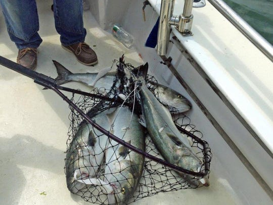Four bluefish that hit an umbrella rig intended for striped bass are netted.