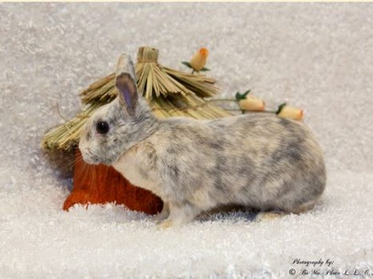 Petunia, a dwarf bunny, is 1 year, 5 months old at the Rochester Hills center.