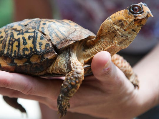 Denise Peters, the director of education at the Woodford Cedar Run Wildlife Refuge in Medford, holds Tommy, an Eastern box turtle with metabolic bone disease and a missing foot. Tommy is an education turtle at the wildlife refuge.