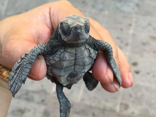 The sight of baby sea turtles hatching and taking their first journey has become a bucket list item for many travelers. Scroll through to find 10 places where you can bear witness to the miraculous – and adorable – process, starting with the <strong&gtMarriott Puerto Vallarta Resort & Spa</strong> in Mexico<strong>. </strong&gtTo the Huichol people native to the Sierra Madre mountain range, the spiritual symbol of the tortuga is an important one, as turtles are touted as the helpers of the rain goddesses. From June to December, guests staying at the Marriott Puerto Vallarta Resort & Spa can participate in the resort's turtle protection program. In addition to having the opportunity to release newly hatched turtles into the ocean, nature lovers can join the resident biologist for a nighttime stroll along the beach to monitor the nesting turtles. Guests meet at the turtle nursery at 10:30 p.m., where the biologist provides information about the conservation project and instructions for patrolling the beach. This activity is offered every day during turtle season.