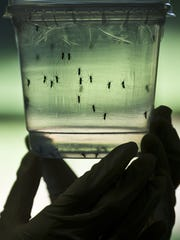 A researcher looks at Aedes aegypti mosquitoes kept