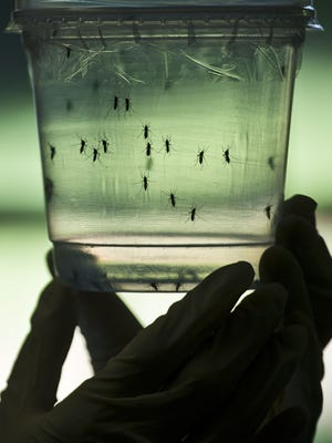 A researcher looks at Aedes aegypti mosquitoes kept in a container at a lab of the Institute of Biomedical Sciences of the Sao Paulo University, on January 8, 2016 in Sao Paulo, Brazil. Researchers at the Pasteur Institute in Dakar, Senegal are  in Brazil to train local researchers to combat the Zika virus epidemic.