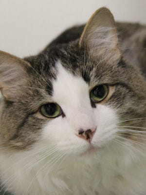 Duke the cat is available to adopt.