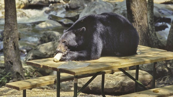 A black bear lays on a picnic table eating a jar of
