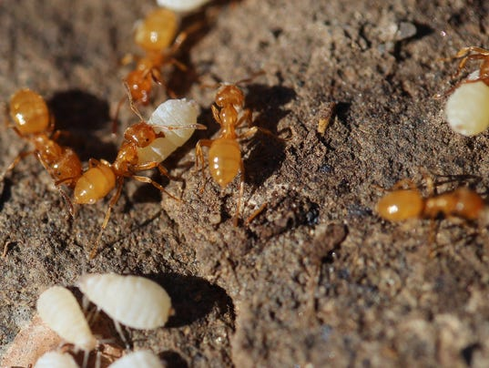 Citronella ants